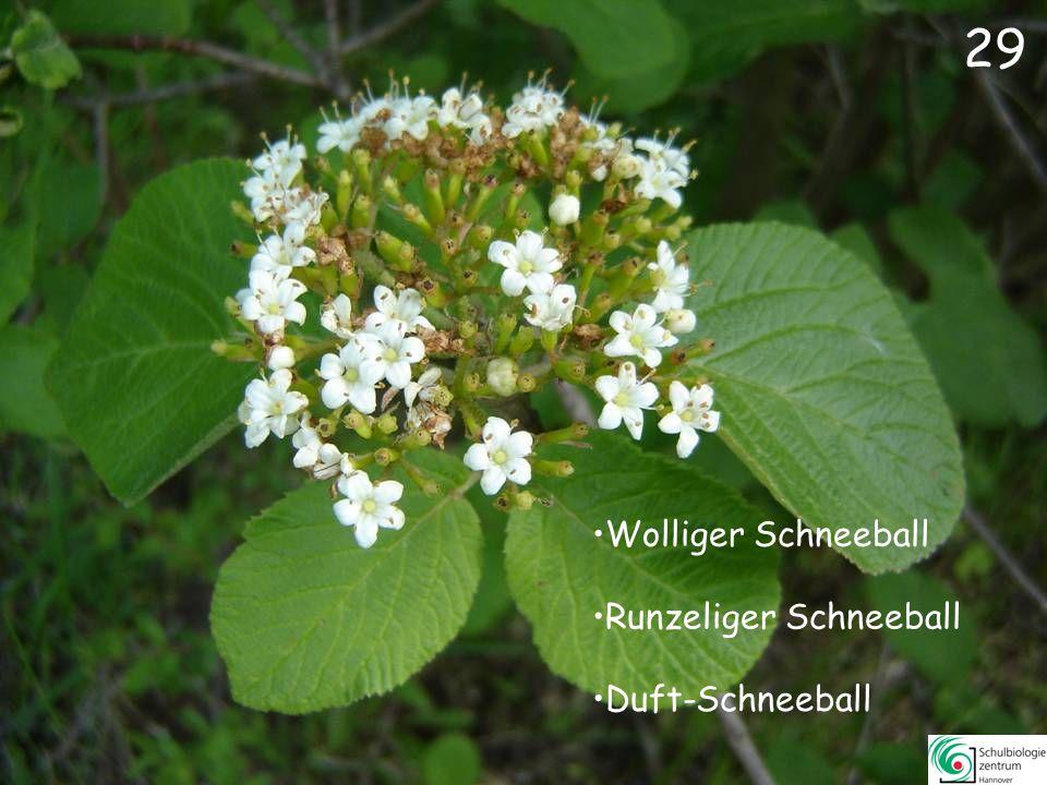 28 Scheinquitte Wald-Geißblatt Alpenrose