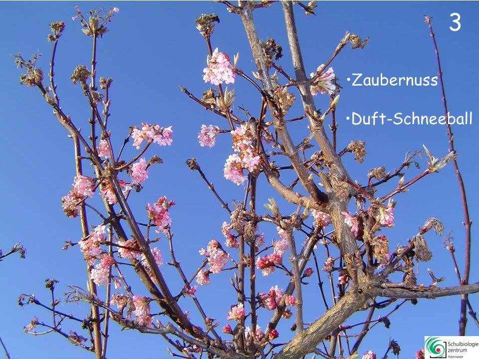 1Hamamelis specZaubernuss26Rhododendron luteumRhododendron, Pontische Azalee, 2Viburnum x bodnantenseDuft-Schneeball27Rhododendron specAlpenrose 3Corylus avellanaGemeine Hasel28Viburnum lantanaWolliger Schneeball 4Salix specWeide29Cornus sanguineaRoter Hartriegel 5Cornus masKornelkirsche30Cotoneaster dammeriTeppich-Zwergmispel 6Daphne mezereumGemeiner Seidelbast 7Forsythia x intermediaForsythie 8Syringa vulgarisGewöhnlicher Flieder 9Prunus laurocerasusLorbeerkirsche (Kirschlorbeer) 10Ilex aquifoliumIlex, Stechpalme 11Cercis siliquastrumJudasbaum 12Crataegus monogynaEingriffeliger Weißdorn 13Laburnum anagyroidesGewöhnlicher Goldregen 14Kerria japonicaJapanische Kerrie 15Pachysandra terminalisJapanischer Ysandser, Dickmännchen 16Mahonia aquifoliumGewöhnliche Mahonie 17Aronia x prunifoliaApfelbeere 18Chaenomeles japonicaScheinquitte 19Euonymus alatusFlügel-Spindelstrauch 20Lonicera periclymenumWald-Geißblatt 21Ribis rubrumRote Johannesbeere 22Tamarix parvifloraFrühlings-Tamariske 23Viburnum rhytidophyllumRunzeliger Schneeball 24Wisteria sinensisBlauregen 25Spirea x vanhouteiPracht-Spierstrauch Inhalt Weiter