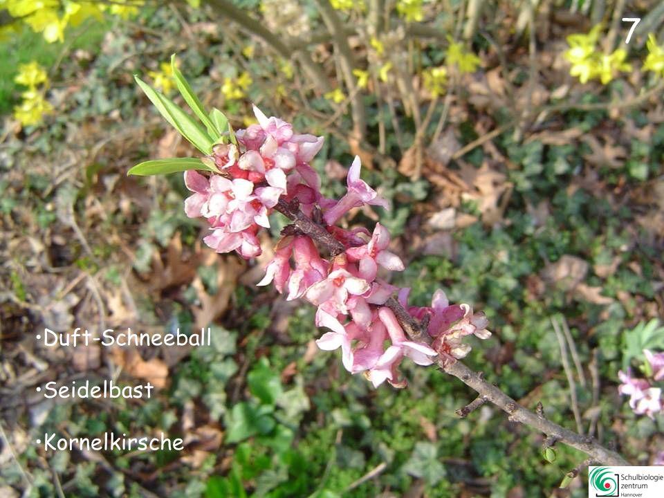 27 Zaubernuss Forsythie Rhododendron