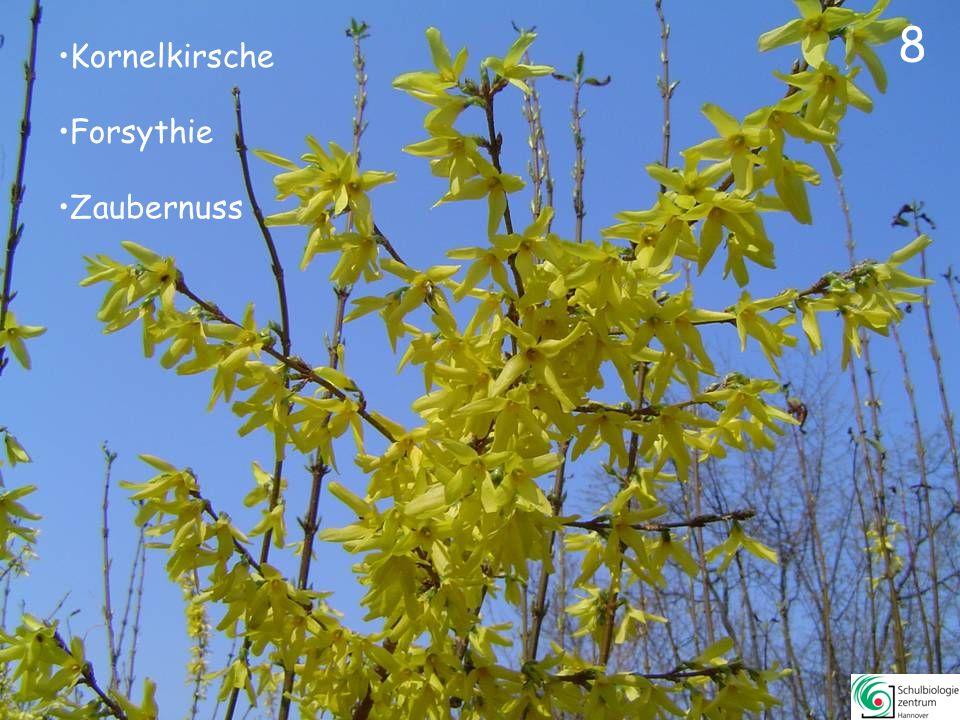 18 Weißdorn Judasbaum Apfelbeere