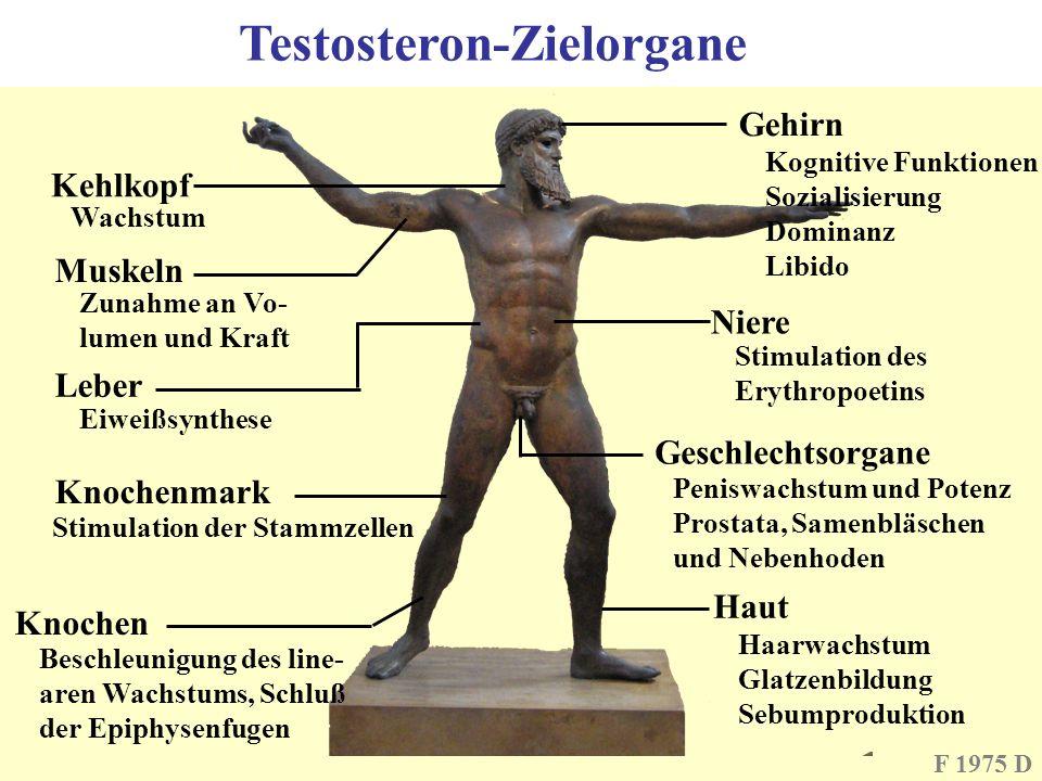 F 1975 D Kehlkopf Wachstum Muskeln Zunahme an Vo- lumen und Kraft Leber Eiweißsynthese Testosteron-Zielorgane Knochenmark Stimulation der Stammzellen