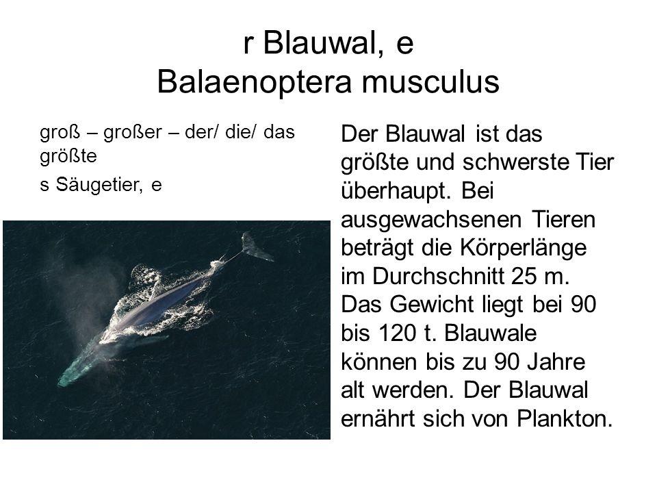 r Blauwal, e Balaenoptera musculus groß – großer – der/ die/ das größte s Säugetier, e Der Blauwal ist das größte und schwerste Tier überhaupt. Bei au