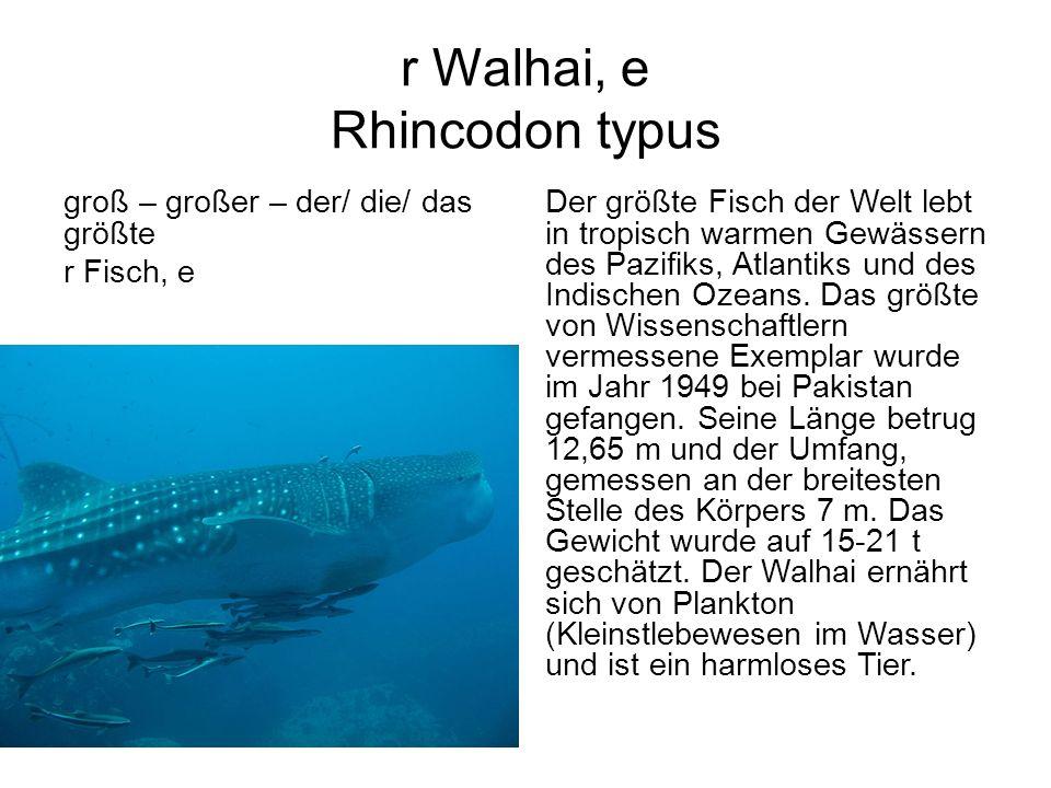 r Walhai, e Rhincodon typus groß – großer – der/ die/ das größte r Fisch, e Der größte Fisch der Welt lebt in tropisch warmen Gewässern des Pazifiks,