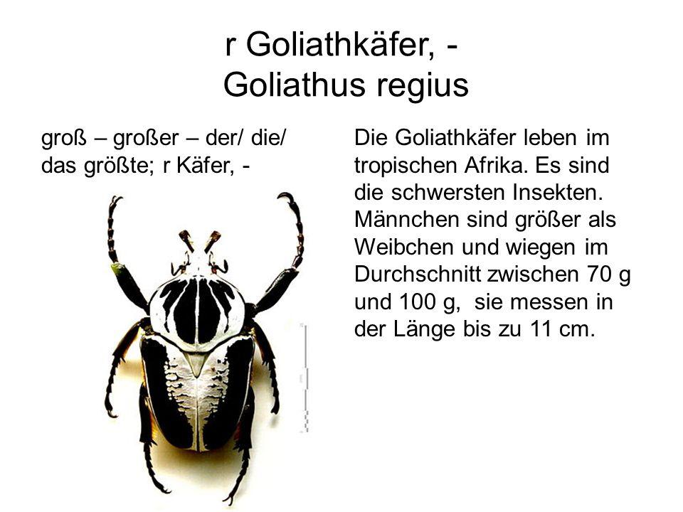 r Goliathkäfer, - Goliathus regius groß – großer – der/ die/ das größte; r Käfer, - Die Goliathkäfer leben im tropischen Afrika. Es sind die schwerste