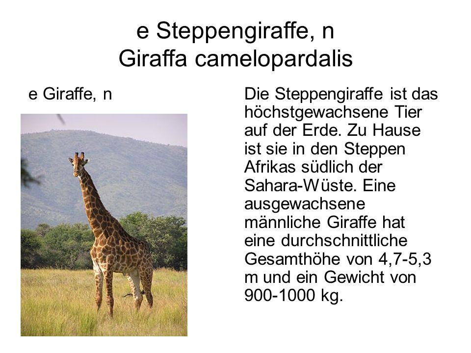 e Steppengiraffe, n Giraffa camelopardalis e Giraffe, nDie Steppengiraffe ist das höchstgewachsene Tier auf der Erde. Zu Hause ist sie in den Steppen