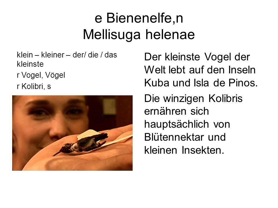 e Bienenelfe,n Mellisuga helenae klein – kleiner – der/ die / das kleinste r Vogel, Vögel r Kolibri, s Der kleinste Vogel der Welt lebt auf den Inseln