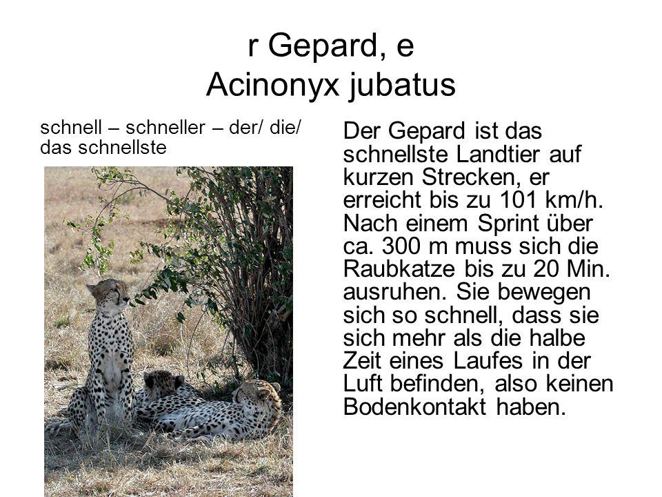 r Gepard, e Acinonyx jubatus schnell – schneller – der/ die/ das schnellste Der Gepard ist das schnellste Landtier auf kurzen Strecken, er erreicht bi