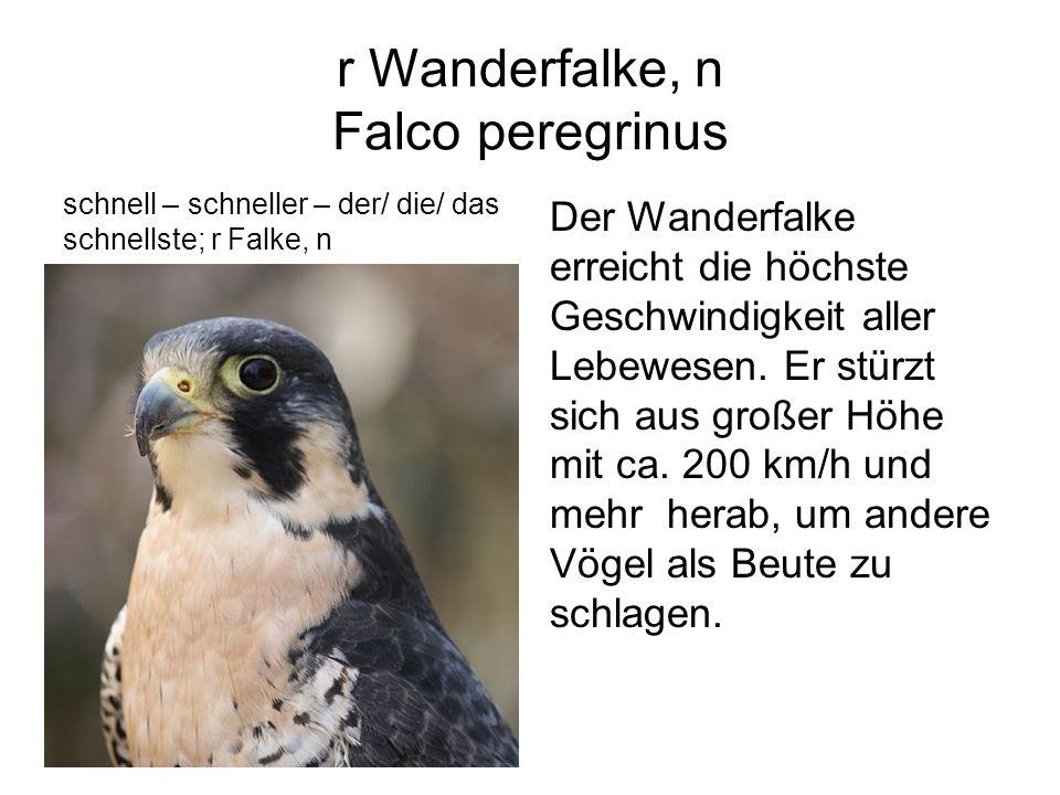 r Wanderfalke, n Falco peregrinus schnell – schneller – der/ die/ das schnellste; r Falke, n Der Wanderfalke erreicht die höchste Geschwindigkeit alle