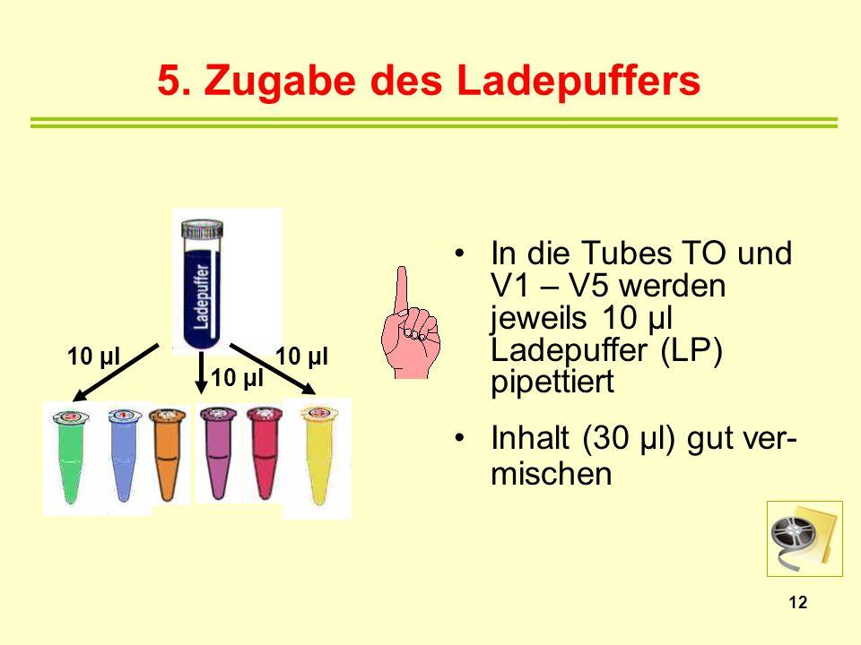 5. Zugabe des Ladepuffers In die Tubes TO und V1 – V5 werden jeweils 10 µl Ladepuffer (LP) pipettiert Inhalt (30 µl) gut ver- mischen 12 10 µl