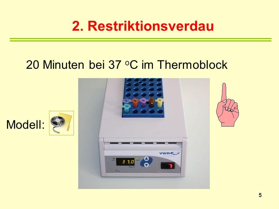 2. Restriktionsverdau Modell: 5 20 Minuten bei 37 o C im Thermoblock