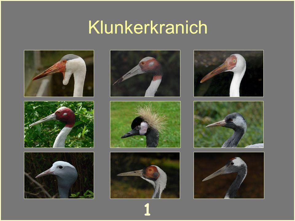 Artenkenntnis von Kranichen Klick dich durch 10 Kranicharten und lerne so mehr über das Aussehen der Vögel. Klickst du den richtigen Namen an, kommst
