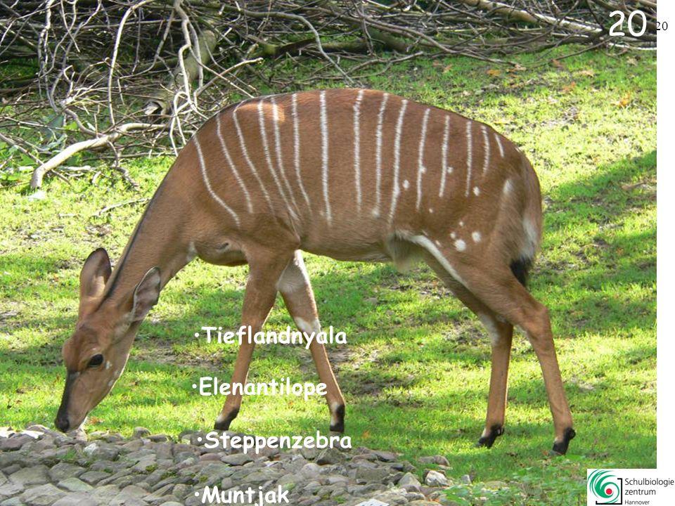 19 Dorcasgazelle Muntjak Nacktnasenwombat Flusspferd