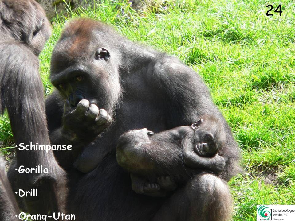 23 Sumatra Orang-Utan Drill Schopfgibbon Schimpanse