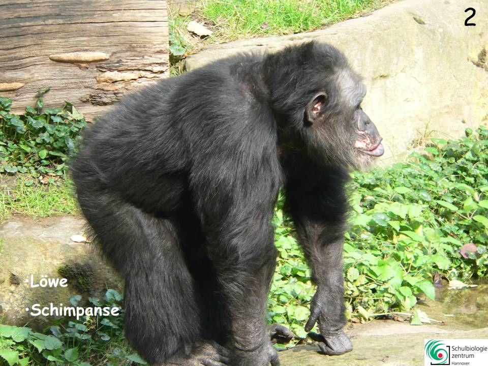 12 Mara Erdmännchen Schimpanse Löwe