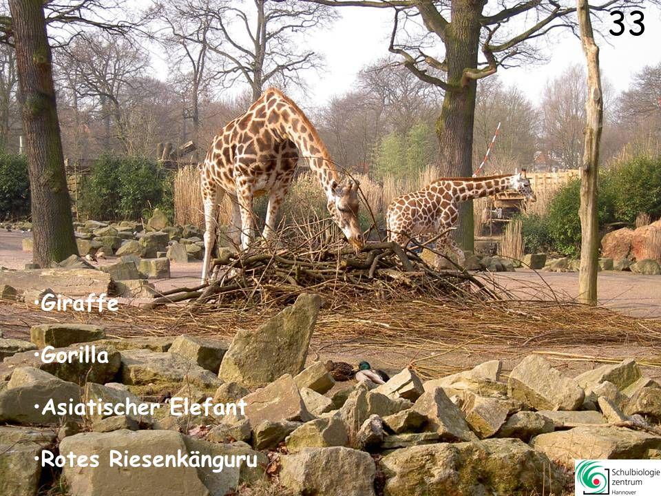 32 Leopard Gepard Gepard Löwe Sibirischer Tiger Sibirischer Tiger