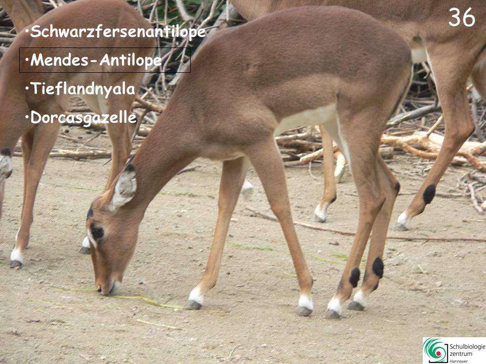 35 Erdmännchen Muntjak Husumer Protestschwein Kurzohr-Rüsselspringer