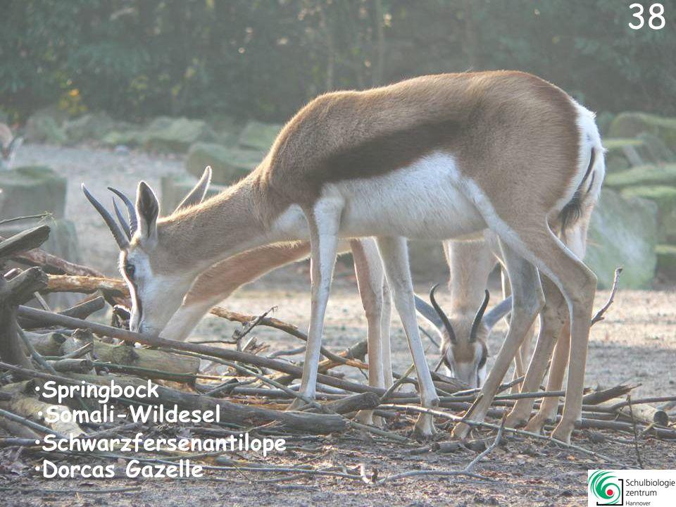 37 Kurzohr-Rüsselspringer Stachelschwein Nasenbär Erdmännchen