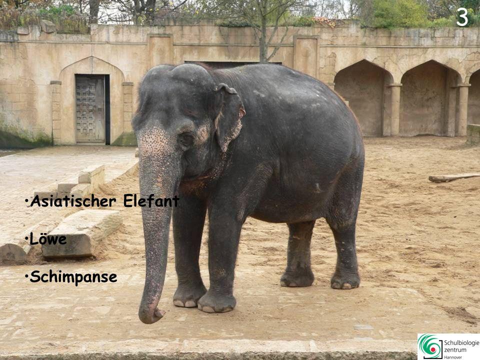 3 3 Asiatischer Elefant Schimpanse
