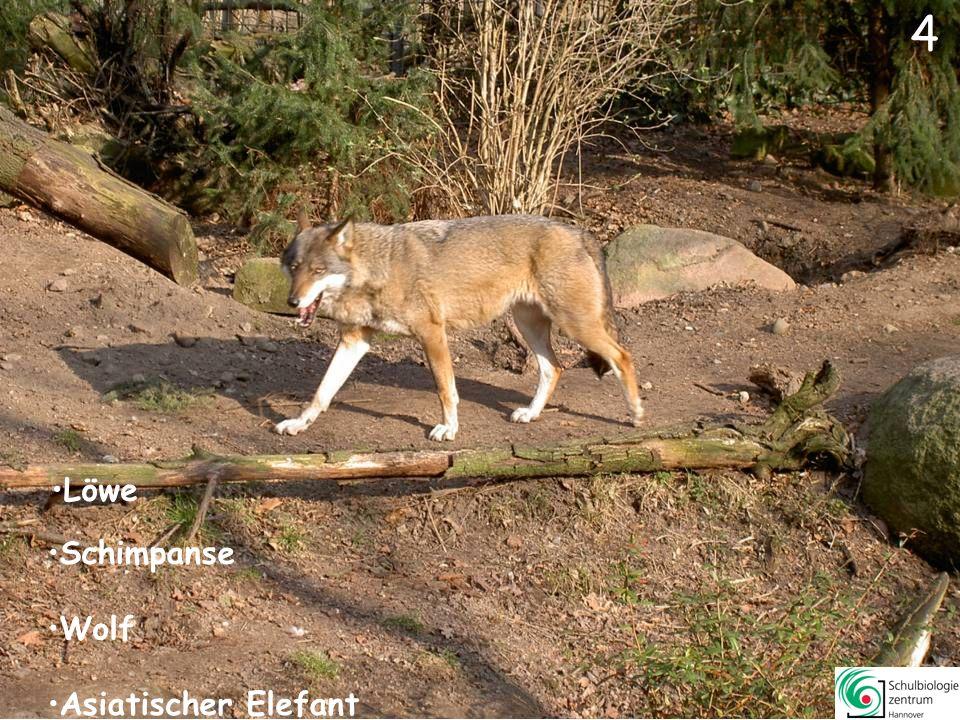 44 1Panthera leoLöwe26 Sus scrofa domesticaHusumer Protestschwein 2Pan troglodytesSchimpanse27Equus zebra Bergzebra 3Elephas maximusAsiatischer Elefant28Rangifer tarundus Rentier 4Canis lupusEuropäischer Wolf29Addax nasomaculatus Mendes-Antilope 5 Equus asinusSomali-Wildesel30 Zalophus californianusKalifornischer Seelöwe 6 Gazella dorcasDorcasgazelle31Madoqua kirki Zwergrüssel-Dikdik 7Vombatus ursinusNacktnasenwombat32 Panthera pardusLeopard 8Diceros bicornisSpitzmaulnashorn33 Giraffa camelopardalis rothschildi2 Giraffen 9Muntiacus muntijakMuntjak34 Hystrix indicaStachelschwein 10Dolichotis patagonumMara35 Macroscelides proboscideusKurzohr-Rüsselspringer 11Pongo abeliiSumatra-Orang-Utan36Aepyceros melampus Schwarzfersenantilope 12Suricata suricattaErdmännchen37Nasua narica Nasenbär 13Tragelaphus oryxElenantilope38Antidorcas marsupialis Springbock 14Panthera tigrisal taicaSibirischer Tiger39Semnopithecus entellus Hulman 15Macropus rufusRotes Riesenkänguru40Lama glama Lama 16Equus przewalskiiExmoorpony41Hippotragus equinus Pferdeantilope 17Equus burchelliSteppenzebra42 Ovis ammon f.