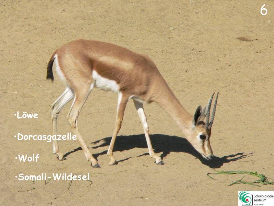 6 6 Dorcasgazelle Wolf Löwe Somali-Wildesel