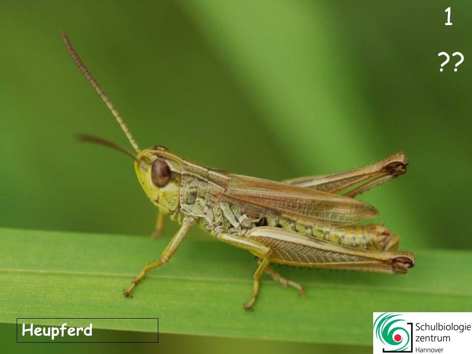 Das Tier ahmt durch Körperform, Körperhaltung und Farbe einen kleinen Zweig nach.