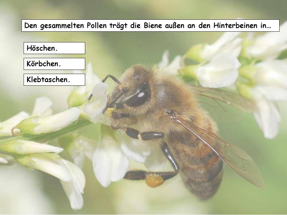Die Königin sammelt den Honig für die Ernährung der Brut in … Zellen aus dem letzten Jahr. in das Nest eingebrachte Bienenwaben. einem selbstgebauten