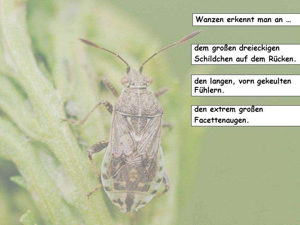 Die Antennen dieser Tiere bestehen aus … 13 Gliedern. 11 Gliedern. 9 Gliedern.
