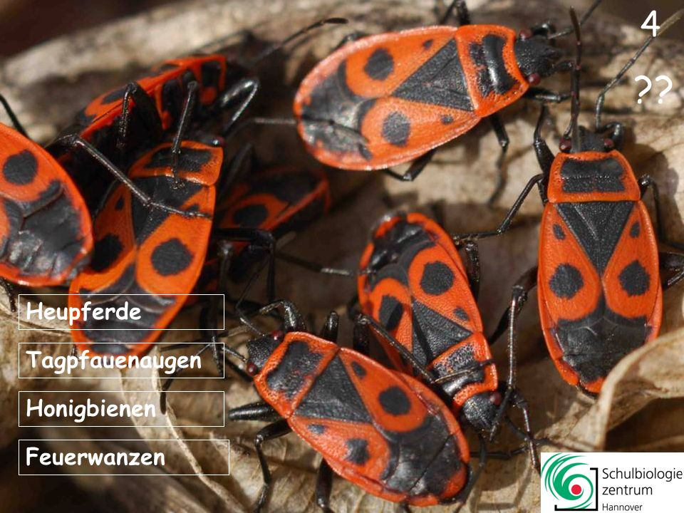 Der Körper eines Insekts besteht aus drei großen Abschnitten: Kopf, Vorderleib, Hinterteil.