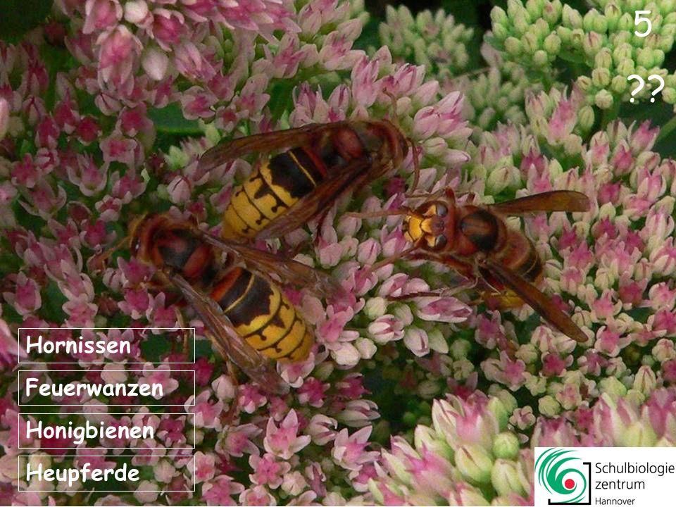 1 4 ?? Honigbienen Feuerwanzen Tagpfauenaugen Heupferde