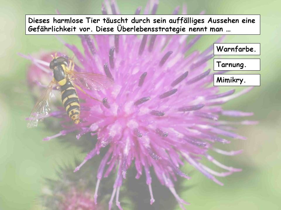 Die Mundwerkzeuge der Schmetterlinge bestehen aus … zangenartigen Gebilden, den sogenannten Mandibeln. einem langen Saugrüssel. einem spitzen Stechrüs