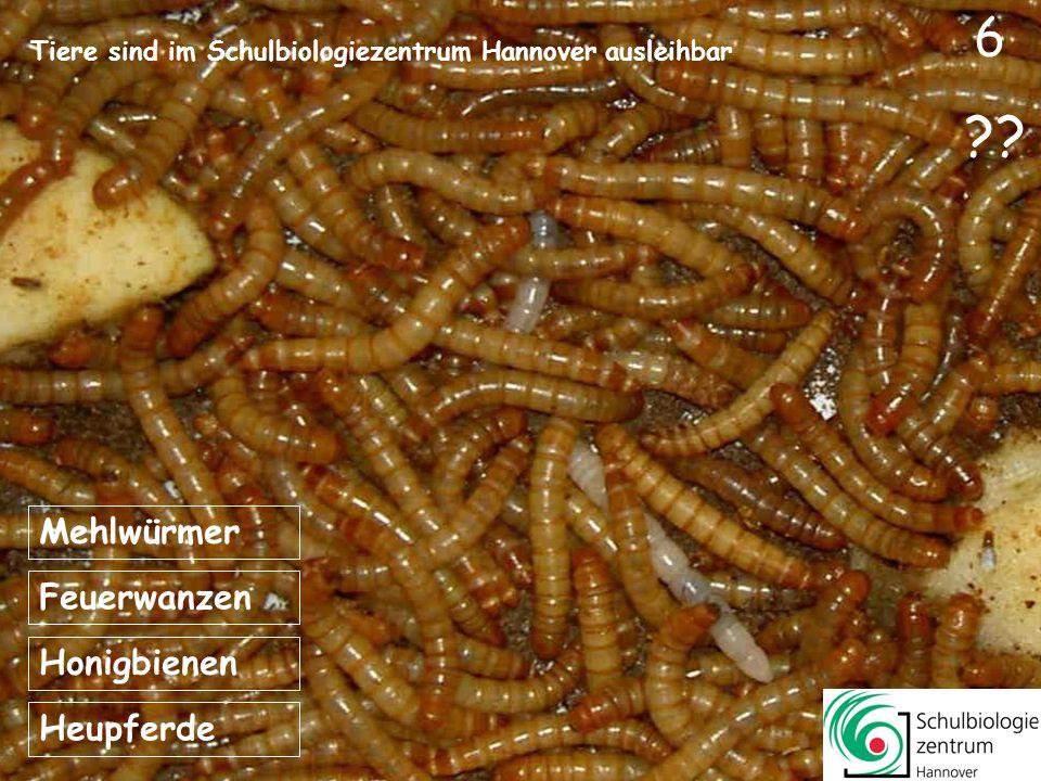 5 ?? Feuerwanzen Honigbienen Heupferde Hornissen