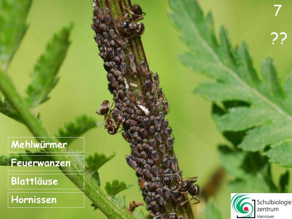 7 ?? Feuerwanzen Hornissen Blattläuse Mehlwürmer