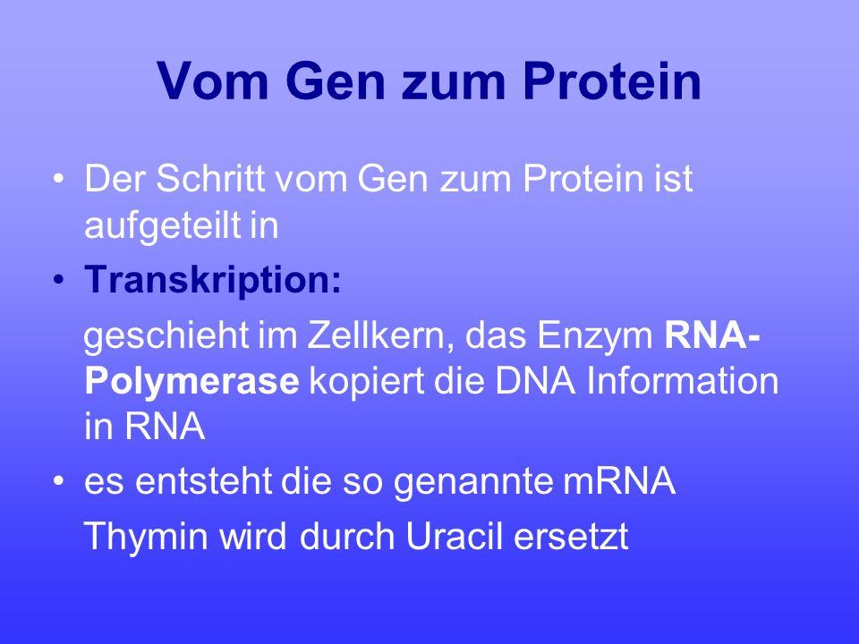 Vom Gen zum Protein Der Schritt vom Gen zum Protein ist aufgeteilt in Transkription: geschieht im Zellkern, das Enzym RNA- Polymerase kopiert die DNA