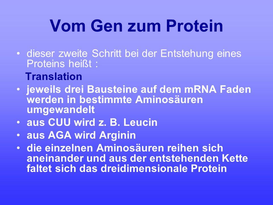 Vom Gen zum Protein dieser zweite Schritt bei der Entstehung eines Proteins heißt : Translation jeweils drei Bausteine auf dem mRNA Faden werden in be