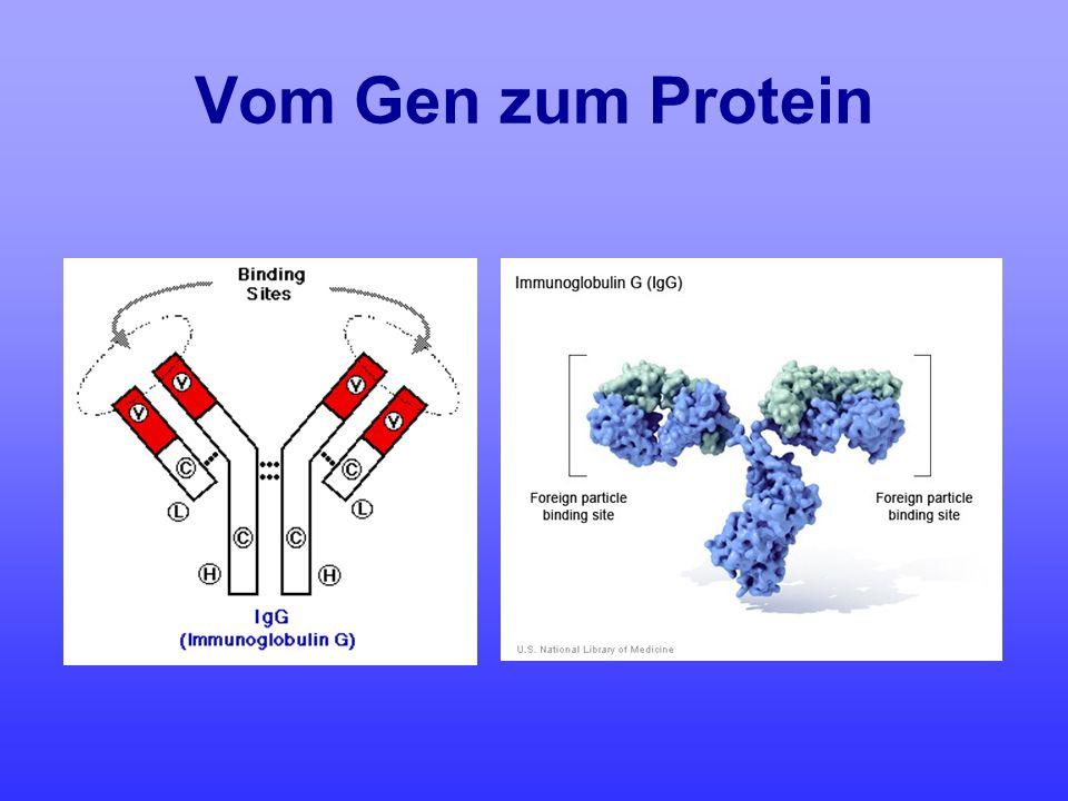 Vom Gen zum Protein