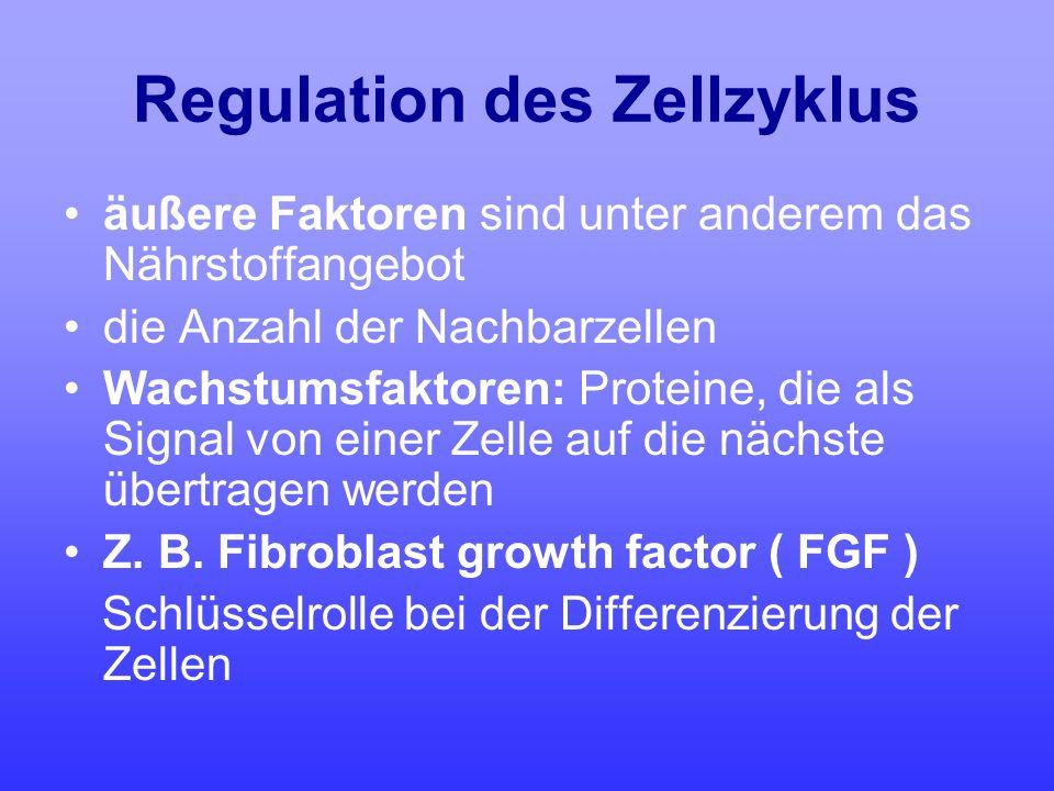 Regulation des Zellzyklus äußere Faktoren sind unter anderem das Nährstoffangebot die Anzahl der Nachbarzellen Wachstumsfaktoren: Proteine, die als Si
