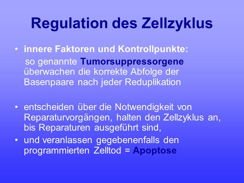 Regulation des Zellzyklus innere Faktoren und Kontrollpunkte: so genannte Tumorsuppressorgene überwachen die korrekte Abfolge der Basenpaare nach jede