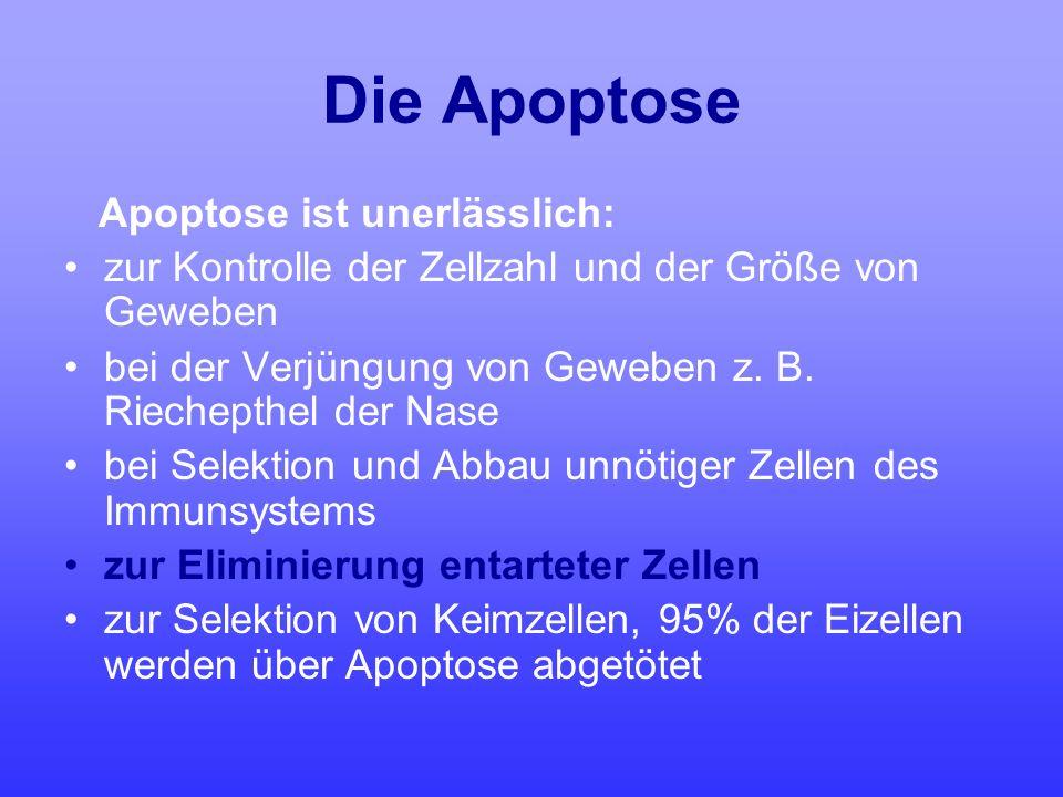 Die Apoptose Apoptose ist unerlässlich: zur Kontrolle der Zellzahl und der Größe von Geweben bei der Verjüngung von Geweben z. B. Riechepthel der Nase