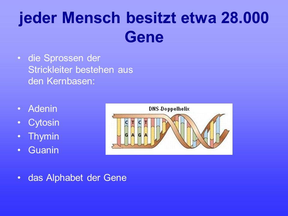 jeder Mensch besitzt etwa 28.000 Gene die Sprossen der Strickleiter bestehen aus den Kernbasen: Adenin Cytosin Thymin Guanin das Alphabet der Gene
