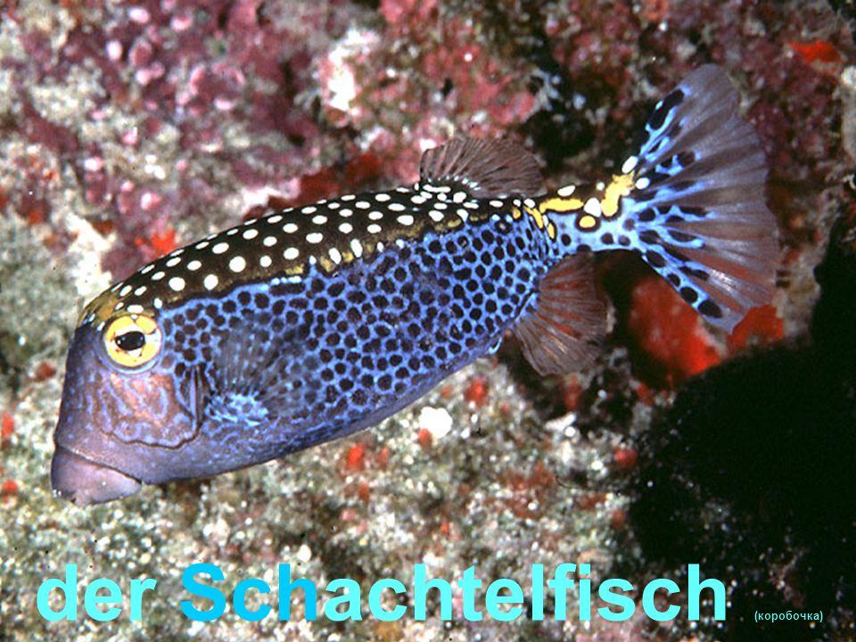 der Schmetterlingfisch
