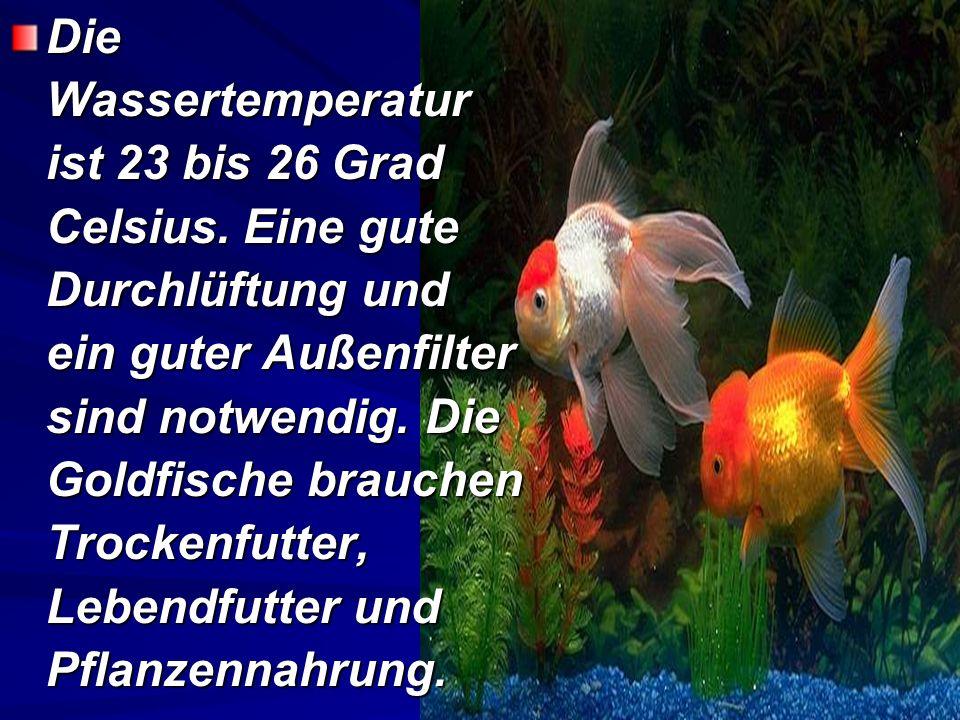 Goldfische kommen aus China. Sie gehören zur Familie Karpfenfische. Das Aquarium soll mehr als 150 Liter groß sein, denn die Goldfische wachsen bis et