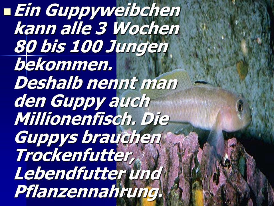 Der Guppy. D Dieser Fisch kommt aus Mittel- und Südamerika. Er braucht nicht viel Pflege. Die Weibchen (самиці) sind größer und nicht auffallend (помі