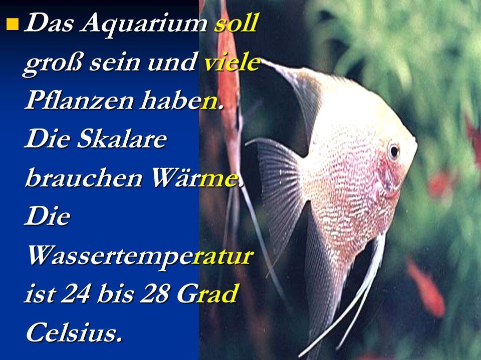Der Skalar. Schöne Segelflosser (парусні плавники) hält man gut mit anderen Fischen. Es gibt schwarze, goldene, silbrig graue und andere Skalare. Sie