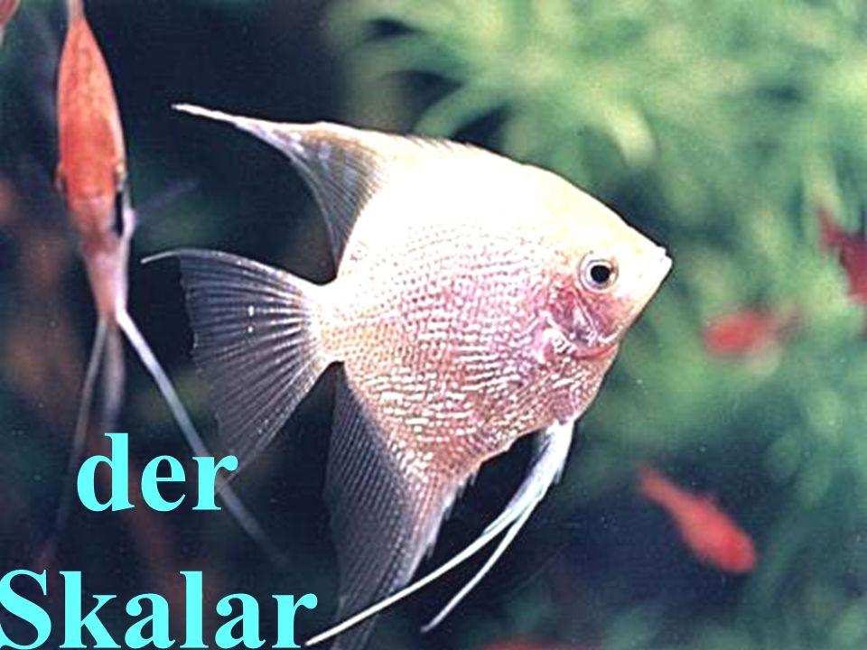 Der Skalar.Schöne Segelflosser (парусні плавники) hält man gut mit anderen Fischen.
