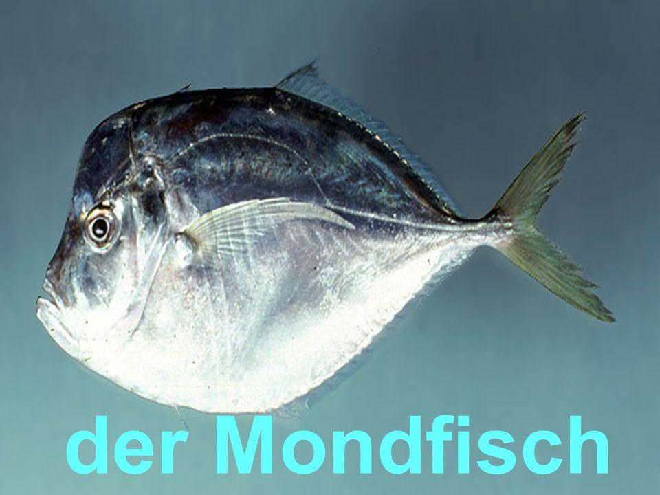 der Mondfisch