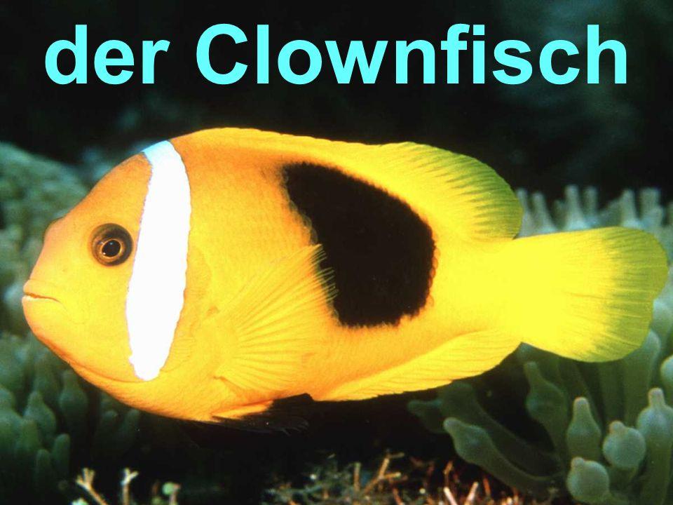 der Clownfisch