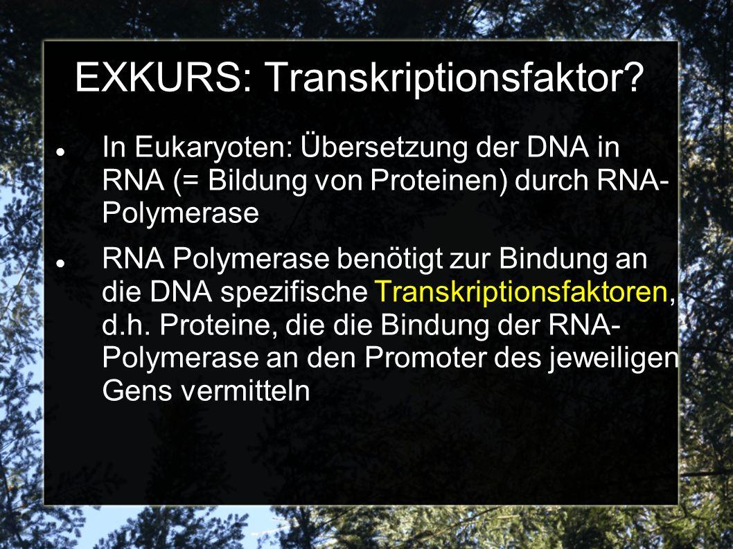 EXKURS: Transkriptionsfaktor? In Eukaryoten: Übersetzung der DNA in RNA (= Bildung von Proteinen) durch RNA- Polymerase RNA Polymerase benötigt zur Bi