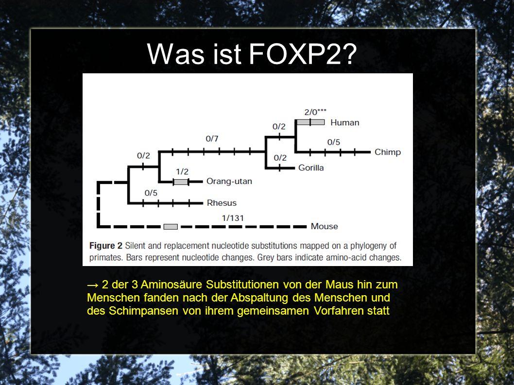 2 der 3 Aminosäure Substitutionen von der Maus hin zum Menschen fanden nach der Abspaltung des Menschen und des Schimpansen von ihrem gemeinsamen Vorfahren statt