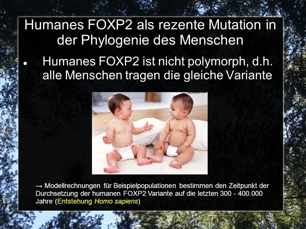 Humanes FOXP2 als rezente Mutation in der Phylogenie des Menschen Humanes FOXP2 ist nicht polymorph, d.h. alle Menschen tragen die gleiche Variante Mo