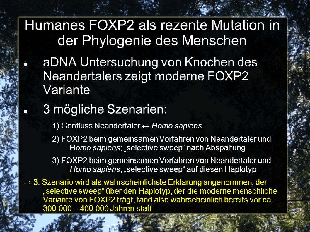 Humanes FOXP2 als rezente Mutation in der Phylogenie des Menschen aDNA Untersuchung von Knochen des Neandertalers zeigt moderne FOXP2 Variante 3 mögliche Szenarien: 1) Genfluss Neandertaler Homo sapiens 2) FOXP2 beim gemeinsamen Vorfahren von Neandertaler und Homo sapiens; selective sweep nach Abspaltung 3) FOXP2 beim gemeinsamen Vorfahren von Neandertaler und Homo sapiens; selective sweep auf diesen Haplotyp 3.